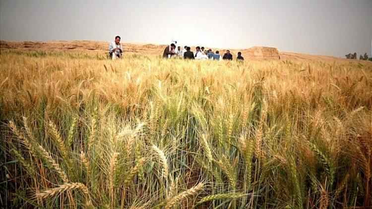 مأرب: الإعلان عن نشر صنفاً جديداً من القمح في حقول المزارعين
