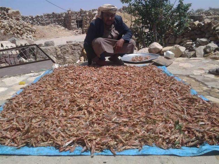 أسراب من الجراد الصحراوي تغزو محافظات يمنية وتهاجم المحاصيل